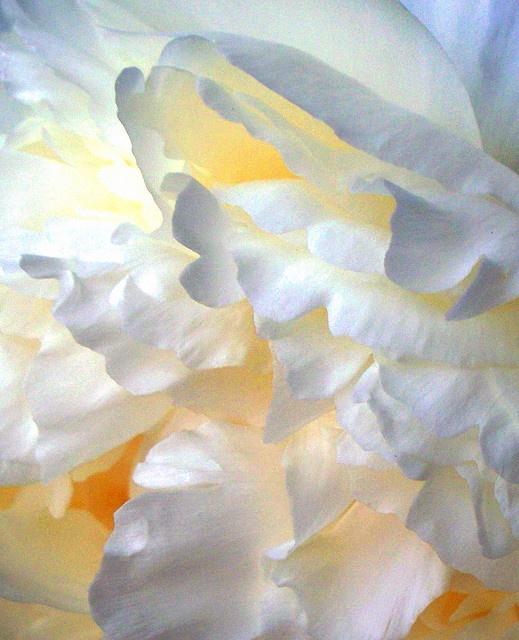 peonías blancas para bodas
